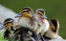 Newly Hatched Mallard Duckling...