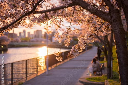 Cherry Blossom Tree By River In City Fotobehang