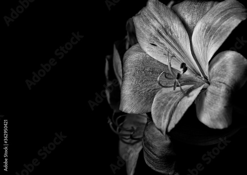 Peruvian Lily in black and white Canvas Print