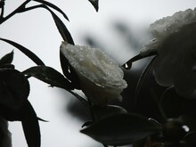 White Camellia Flower Blooming