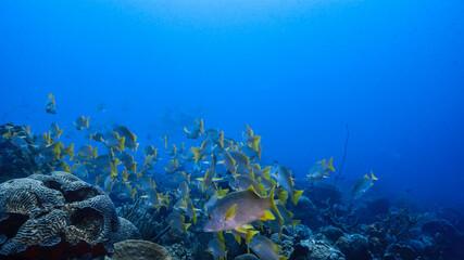 Fototapeta na wymiar School of Schoolmaster Snapper in turquoise water of coral reef in Caribbean Sea / Curacao