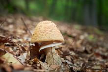 Blusher Mushroom (Amanita Rube...