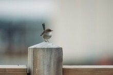 Blue Fairy Wren Perched On A Fence.