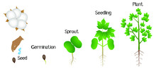 Sequence Of A Cotton Plant Gro...