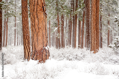 Photo A forest of ponderosa trees after a snow storm near Sisters, Oregon
