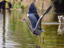 Heron Flying Over Lake