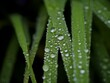 canvas print picture Water Drops on a plant
