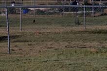 Juvenile Scissor-tail Flycatcher At South East City Park, Canyon, Texas.
