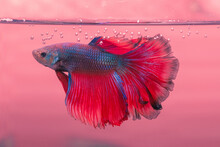 Close-up Of Male Rose Tail Mal Betta Fish Swimming In Water
