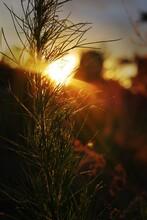 Sun Through Weeds