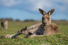 Portrait Of Kangaroo Relaxing On Field