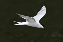 High Angle View Of Flying Common Tern