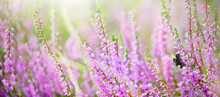Purple Heather Flowers With Be...