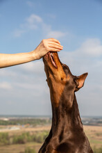 A Brown And Tan Doberman Dobermann Dog Reaches For A Hand With A Treat In A Blurry Natural Background. Vertical Orientation.