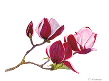 Magnolia Flowers With White Ba...