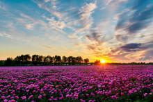Beautiful Chinese Herbaceous P...