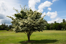 Flowering Dogwood Trees Close ...