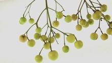 Chinaberries