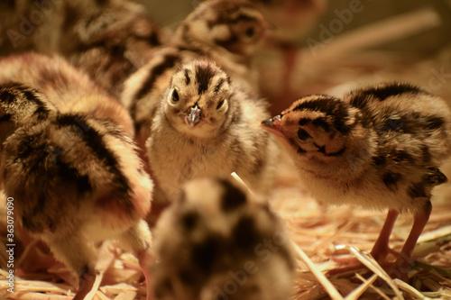 Fototapeta Close-up Of A Pheasant Chicks