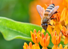Closeup Of A Honey Bee (Apis Mellifera) Climbing Down To Gather Nectar From The Waxy Orange Flowers Of Butterfly Weed (Asclepias Tuberosa).  Copy Space.
