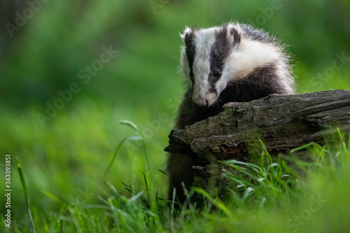 Tela Close-up Of Badger On Tree Trunk