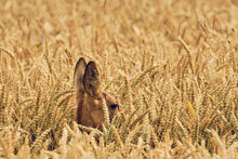 Side View Of Deer Amidst Crops On Agricultural Field