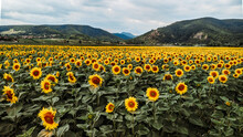 Scenic View Of Sunflower Field...