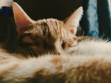 Sleeping Orange Kitten