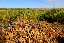 Peanuts Are Piled On The Ground.