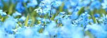 Wild Blue Spring Flowers, Wild...