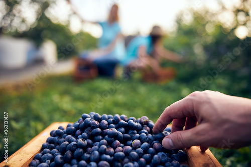 Modern family picking blueberries on a organic farm - family business concept Fototapete