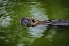 High Angle View Of Muskrat Swimming In Lake