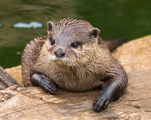 Close-up Portrait Of An Otter