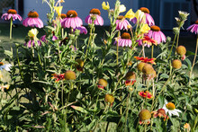 Lost Of Coneflowers, Painted D...