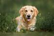 golden retriever dog lying down on grass in summer