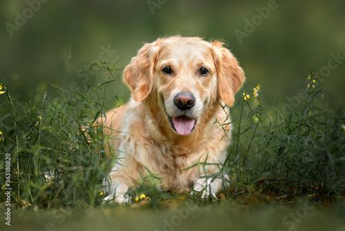 Fototapeta golden retriever dog lying down on grass in summer obraz