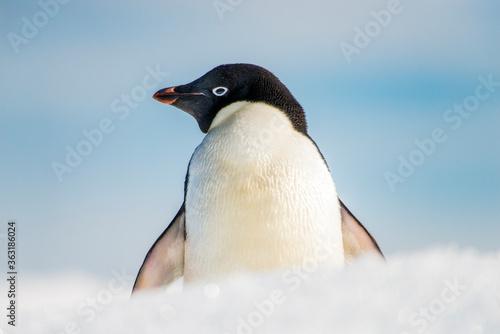 Obraz na plátně Adélie penquin in the snow in the snow Brown Bluff Antarctica.