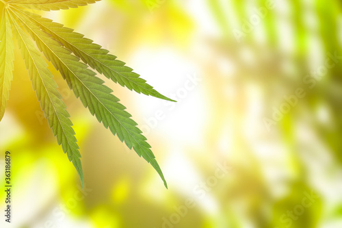 Obraz Green leaf of hemp plant on blurred background, closeup. Space for text - fototapety do salonu