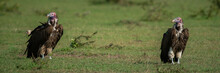 Panorama Of Two Lappet-faced V...