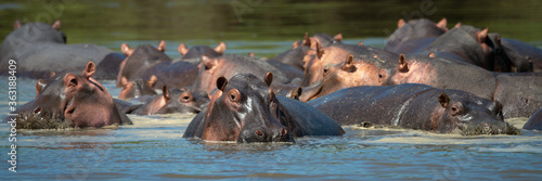 Canvas-taulu Panorama of hippos wallowing in hippo pool