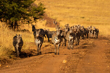 Plains Zebras Walk Towards Cam...