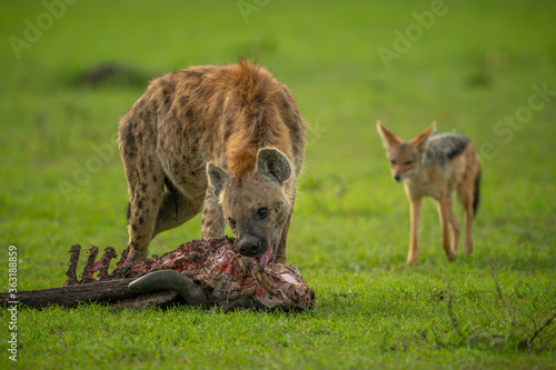 Spotted hyena gnaws carcase as jackal watches Canvas Print