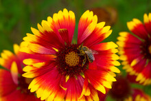 A Striped Bee Sits On A Red-yellow Flower And Collecting Nectar. Bokeh