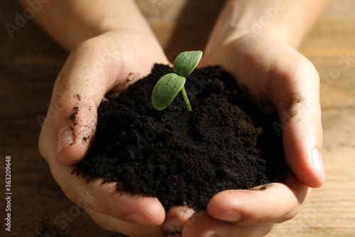 Fototapeta Woman holding soil with seedling at wooden table, closeup obraz
