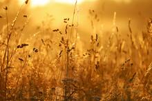 Golden Sunrise Over Tall Grass...