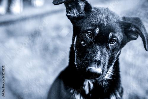 Fototapeta black and white photo of an abandoned dog obraz