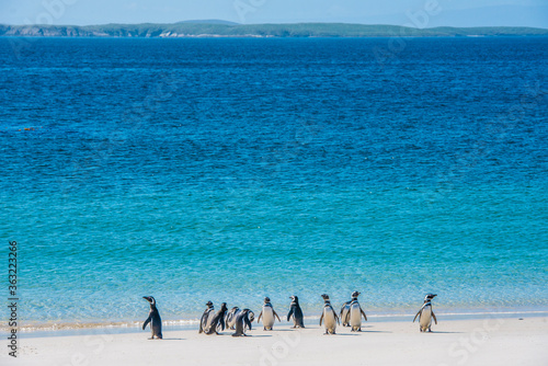 Photo Magellanic penquins on a beach in the Falkland islands
