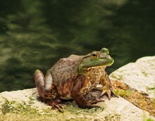 Bull Frog At Some Park Pond In St Louis