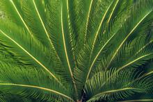 Cycas Revoluta / Sago Palm, Closeup Of Leaves