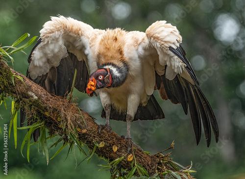Fotografía King Vulture